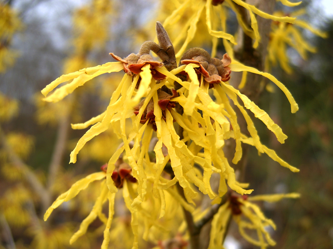 hamamelis homeopathie